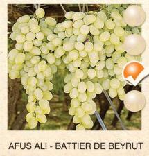 afus ali vinova-loza-sadnice-agrokalemplod_199
