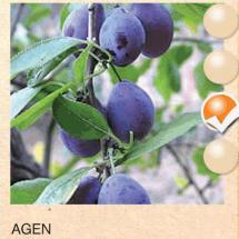 agen sljiva-sadnice-agrokalemplod_04