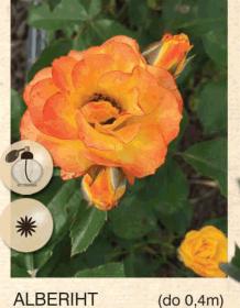 alberiht ruza-mini-sadnice-agrokalemplod_43