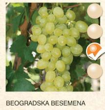 beogradska besemena vinova-loza-sadnice-agrokalemplod_165