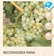 beogradska rana vinova-loza-sadnice-agrokalemplod_167