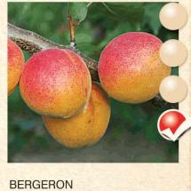 bergeron kajsija-sadnice-agrokalemplod_16
