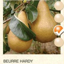 beurre hardy kruska-sadnice-agrokalemplod_13