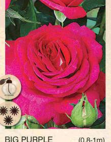 big purple ruza-cajevka-sadnice-agrokalemplod_12