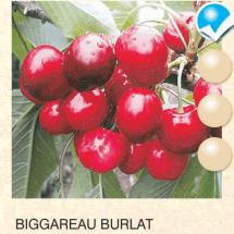 biggareau burlat tresnja-sadnice-agrokalemplod _11