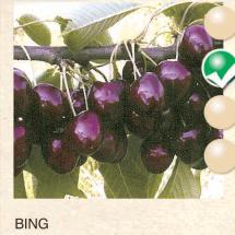 bing tresnja-sadnice-agrokalemplod _05