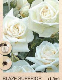 blaze superior ruza-puzavica-sadnice-agrokalemplod_32