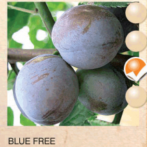 blue free sljiva-sadnice-agrokalemplod_02