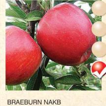 braeburn nakb jabuka-sadnice-agrokalemplod_03
