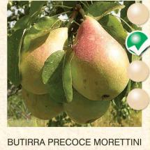 butirra precoce morettini kruska-sadnice-agrokalemplod_01