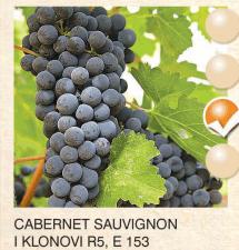 cabernet sauvignon vinova-loza-sadnice-agrokalemplod_155