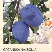 cacanska najbolja sljiva-sadnice-agrokalemplod_15