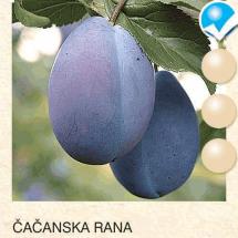 cacanska rana sljiva-sadnice-agrokalemplod_14