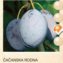 cacanska rodna sljiva-sadnice-agrokalemplod_16