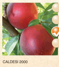 caldesi 2000 nektarina-sadnice-agrokalemplod_4