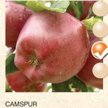 camspur jabuka-sadnice-agrokalemplod_02