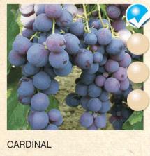 cardinal vinova-loza-sadnice-agrokalemplod_129
