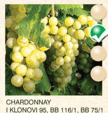chardonnay vinova-loza-sadnice-agrokalemplod_57