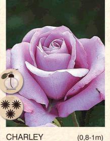 charley ruza-polijante-sadnice-agrokalemplod_15