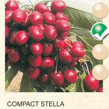 compact stella tresnja-sadnice-agrokalemplod _07