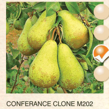 conferance clone m202 kruska-sadnice-agrokalemplod_10