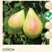 coscia kruska-sadnice-agrokalemplod_11