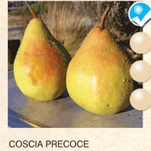 coscia precoce kruska-sadnice-agrokalemplod_12
