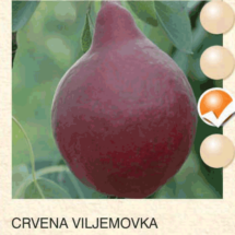 crvena viljemovka kruska-sadnice-agrokalemplod_04