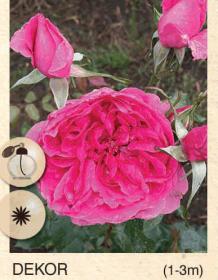 dekor ruza-puzavica-sadnice-agrokalemplod_19