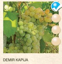 demir kapija vinova-loza-sadnice-agrokalemplod_169