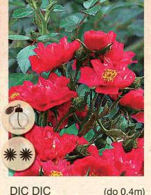dic dic ruza-mini-sadnice-agrokalemplod_15
