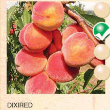 dixired breskva-sadnice-agrokalemplod_08