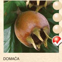 domaca musmula-sadnice-agrokalemplod__1