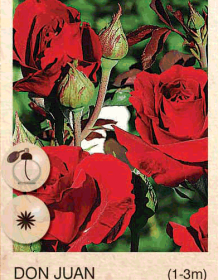 don juan ruza-puzavica-sadnice-agrokalemplod_34