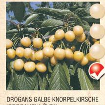 drogans galbe tresnja-sadnice-agrokalemplod _02