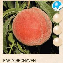 early redhaven breskva-sadnice-agrokalemplod_07