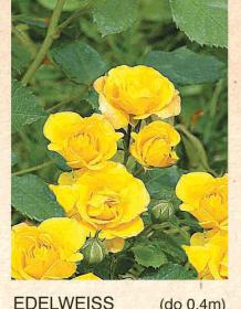 edelweiss ruza-mini-sadnice-agrokalemplod_17