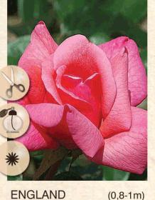 england ruza-cajevka-sadnice-agrokalemplod_32