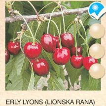 erly lyons tresnja-sadnice-agrokalemplod _18