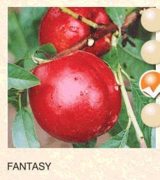 fantasy nektarina-sadnice-agrokalemplod_7