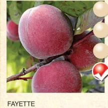 fayette breskva-sadnice-agrokalemplod_09