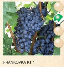 frankovka kt 1 vinova-loza-sadnice-agrokalemplod_127