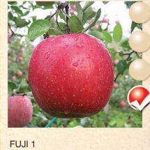 fuji 1 jabuka-sadnice-agrokalemplod_04