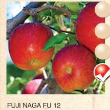 fuji naga fu 12 jabuka-sadnice-agrokalemplod_17