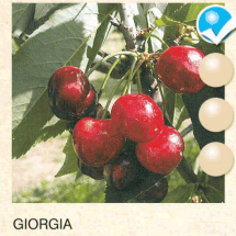 giorgia-tresnja-sadnice-agrokalemplod _01