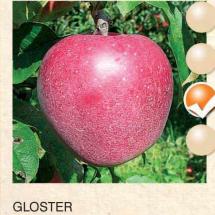 gloster jabuka-sadnice-agrokalemplod_01