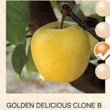 golden delicious clone b jabuka-sadnice-agrokalemplod_18