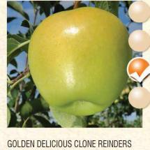 golden delicious clone reinders jabuka-sadnice-agrokalemplod_19