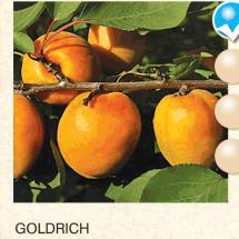 goldrich kajsija-sadnice-agrokalemplod_01