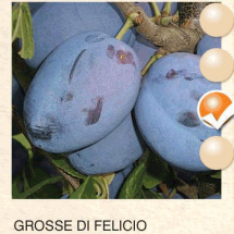 grosse di felicio sljiva-sadnice-agrokalemplod_09